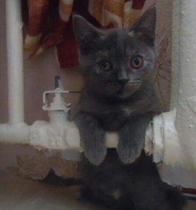 Шотландская миниатюрная кошечка