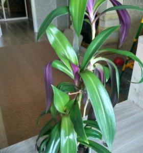 Комнатное растение Роео