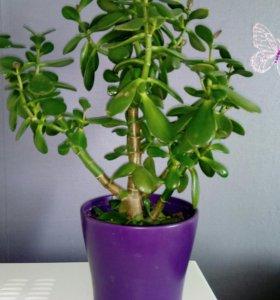 Комнатное растения Толстянка (живое дерево)
