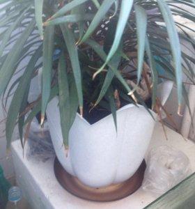 Драцена в горшке. Большое растение.