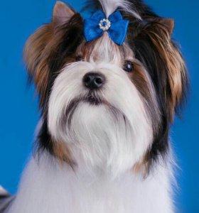 Продам подрощенного щенка бивер-йорка
