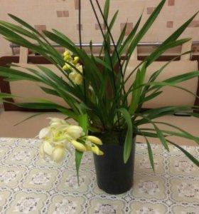Орхидея цимбидиум каскадный