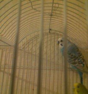 Продам попугая Кеша