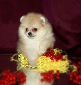 Шпиц мини щенки