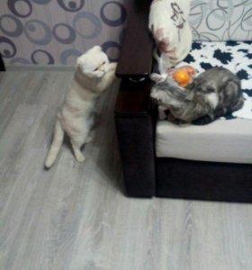 Шотланские котята.