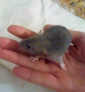 Крыски породы Дамбо