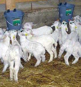 заанинские козы