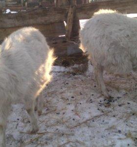 Продам 6 коз от 2000р.