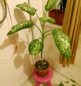 Дерево фикус, кумт диффенбахия, китайская роза