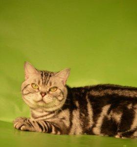 Кот на вязку 1500,котята от 2500