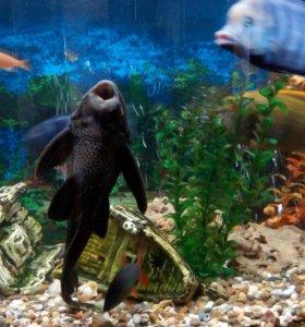 Рыбки цихлиды продам