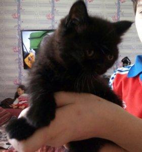 Осталась 1 милая девочка шотландский котенок