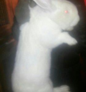 Кролики - Фландер. От 1 месяца до 3. Привиты и про
