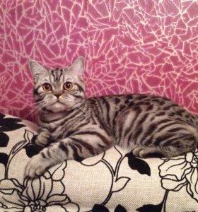 Вязка . Шотландский кот