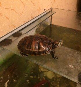 Черепаха большая красноухая
