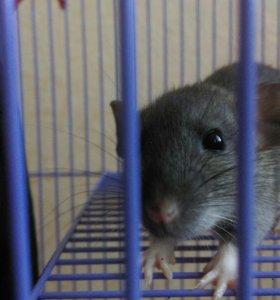 Декоративная крыса, клетка, корм, наполнитель,