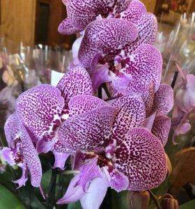 Коллекционная орхидея