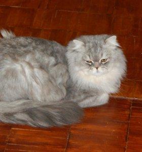 Шотландский кот (вязка)