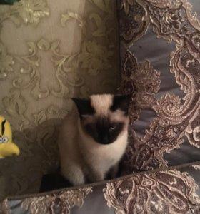 Кошка сиамка