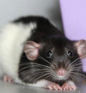 Крыски Дамбо (ушастые)