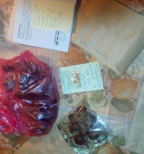 Семена голубой ели, лиственницы сибирской, горной