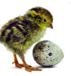 Инкубационные перепелиные яйца