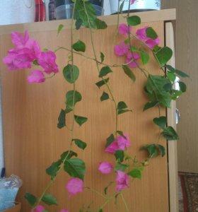 Цветы бугенвиллея (лиана)