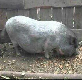 Свино матка