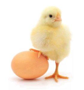 яйца для инкубатора куриные утиные гусиные индюшач