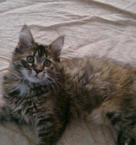 Котенок мейн -кун