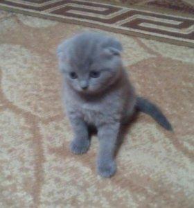 Котята от кота британца и вислоухой кошки