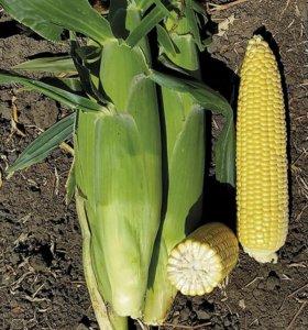 Аргос F1 семена супер сладкой кукурузы