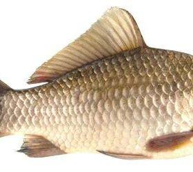 Рыба карась и лещ