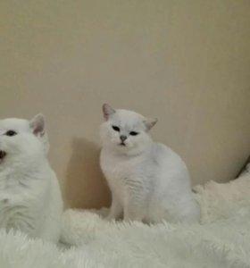 Котики шиншиллы на вязку
