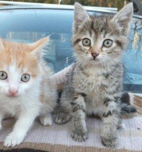 Котята 2 мес. в добрые руки