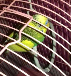 Волнистый попугай , 5 месяцев