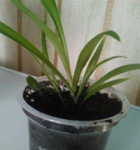 Комнатное растение. Хлорофитум