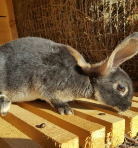 Кролики Рэксы