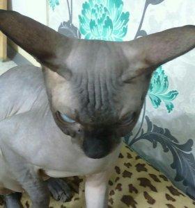 Вязка с котом породы канадского сфинкса