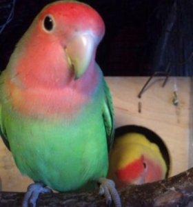 Попугай домашние