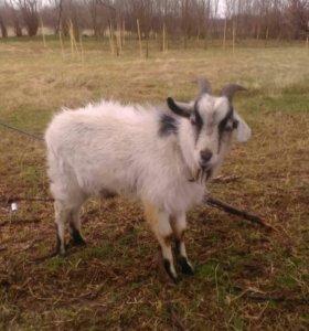 Альпо - камерунский козел.