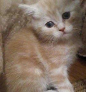 Британский рыжий мраморный котенок.