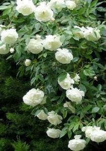 Белая и розовая роза ругоза