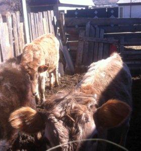 Коровы,бычки