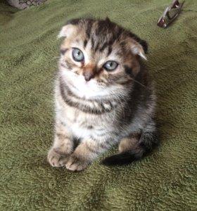 Кот британец