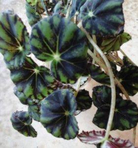 Комнатные цветыбегонии.аллоказия.гибискус