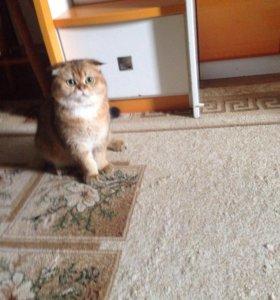 Вязка Вислоухий котик