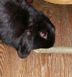 Декоротивный вислоухий кролик