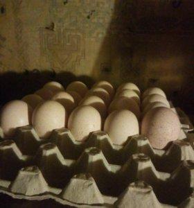 Инкубацыонное яйцо индюка