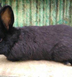 Кролик Мардер